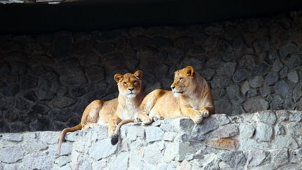 Thumbnail for Female Lions Looking Out