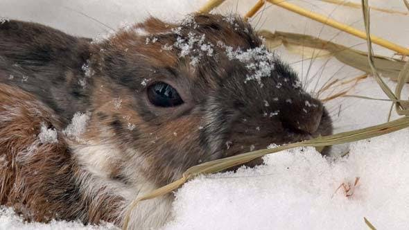 Cover Image for Rabbit Eating Hay
