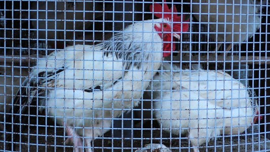 Cover Image for Group of Chicken in Metal Cage 2