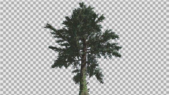 White Fir Abies Concolor Down up Coniferous