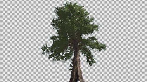 Western Red Cedar Coniferous Evergreen Tall Tree