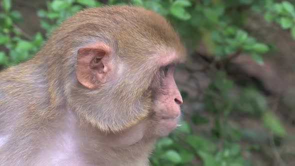 Thumbnail for Close up from a Monkey chewing some food