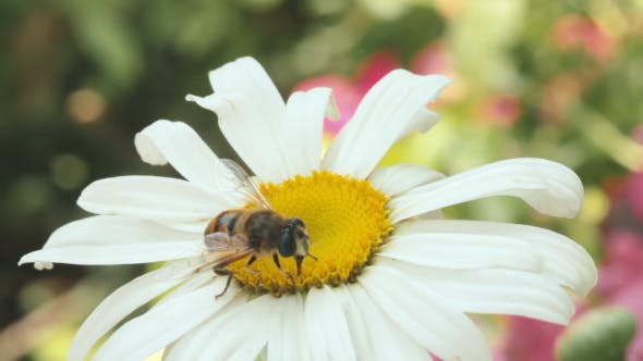 Bee Pollinating Daisy Flower