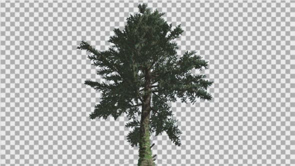 Thumbnail for White Fir Down up Coniferous Evergreen Tree Thin