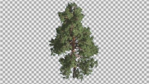 Scots Pine Pinus Sylvestris Glaucous Blue-Green