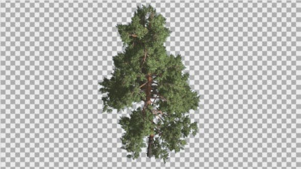 Thumbnail for Scots Pine Pinus Sylvestris Glaucous Blue-Green