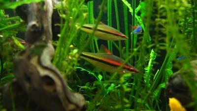Aquarium Fish Swimming In a Large Aquarium