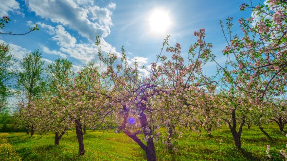 Thumbnail for Blossoming Apple Orchard
