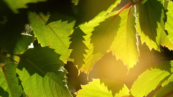 Cover Image for Grape Leaves Background