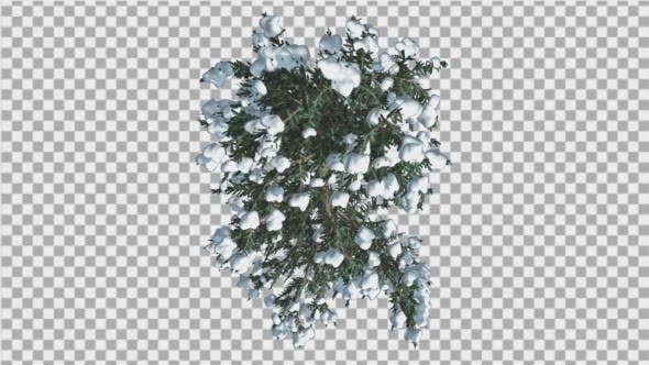 Thumbnail for White Fir Snow on a Branches Top Down Thin Trunk