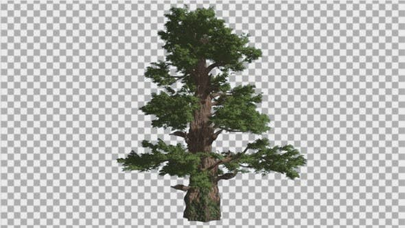 Thumbnail for Western Juniper Thick Trunk Scale-Like Leaves