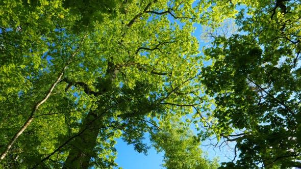 Thumbnail for Green Oak Forest