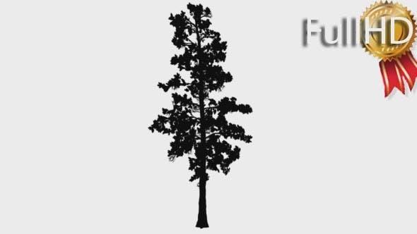 Thumbnail for Eastern White Pine Pinus Strobus Silhouette Thin