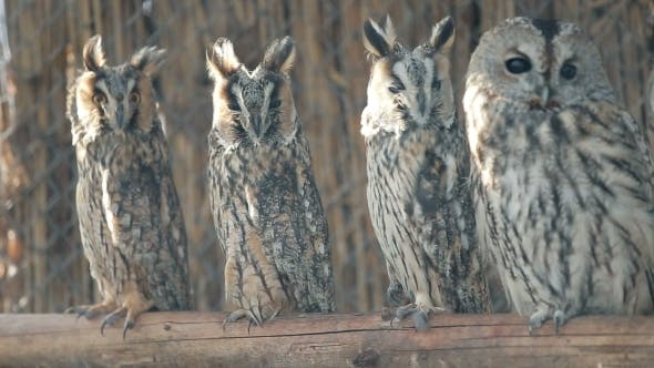 Cover Image for Several Curious Eared Owls Sitting On Pole