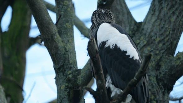 Thumbnail for Big Bird An Eagle Sitting