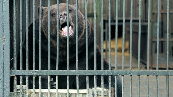 Thumbnail for Big Bear Sitting In a Cage