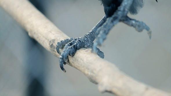 Thumbnail for Paw Bird Crow