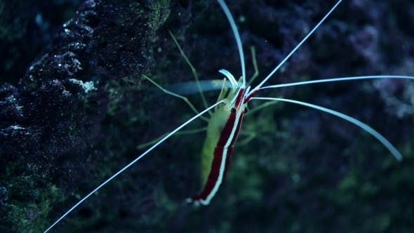 Thumbnail for Of Peacock Mantis Shrimp Leaving a Rock Cave