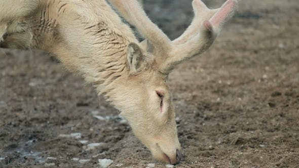 Thumbnail for Of Reindeer With Big Beautiful Horns