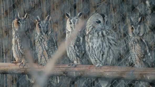 Thumbnail for Several Curious Eared Owls Sitting On Pole