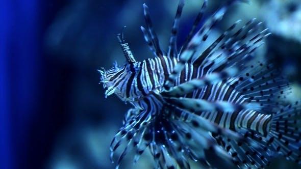 Thumbnail for Red Lionfish (Pterois Volitans)
