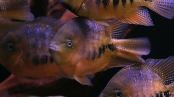 Thumbnail for African Cichlid Fishes Searching For Food Between Snags And Green Plants