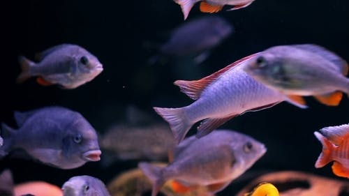 African Cichlid Fishes Searching For Food Between Snags And Green Plants