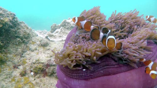 Clownfish Hosting Anemone