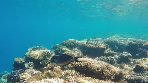 Exotic Red Sea Fish, Coral Reef Life