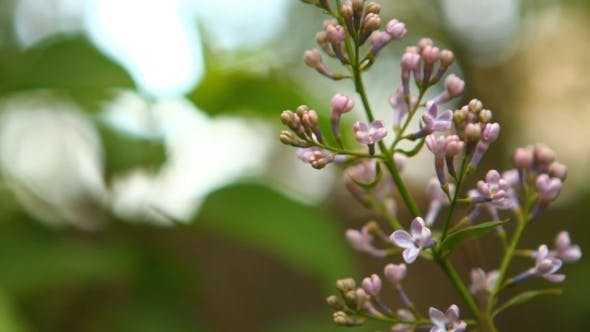 Thumbnail for Blooming Lilac Swaying In The Wind