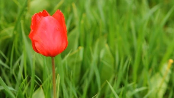 Thumbnail for Tulips Swaying In The Wind
