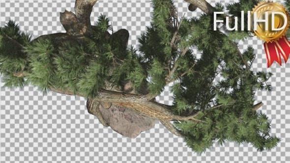 Thumbnail for Jeffrey Pine Pinus Jeffreyi Top Down Coniferous