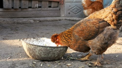 Free Range Chickens Hens Pecking Corn And Food