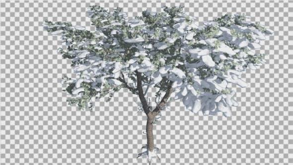 Thumbnail for Italian Stone Pine Thin Tree in Winter Snow