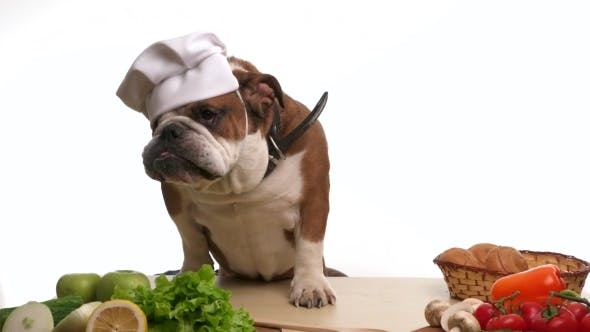 Thumbnail for English Bulldog Chef Chewing