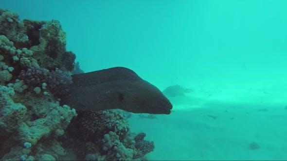 Thumbnail for Giant Moray Underwater