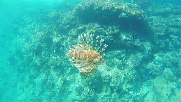 Thumbnail for Exotic Fish - Pterois Miles
