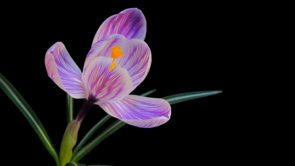 Flower Blooming