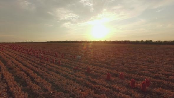 Thumbnail for Agricultural Fields With Sacks At Sunset
