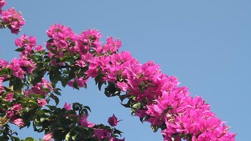 Bougainvillea and Blue Sky II