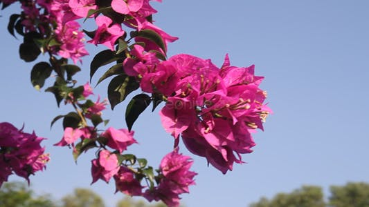 Thumbnail for Bougainvillea and Blue Sky III