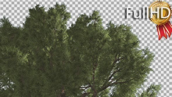 Thumbnail for Western Juniper Branchy Green Crown of Coniferous