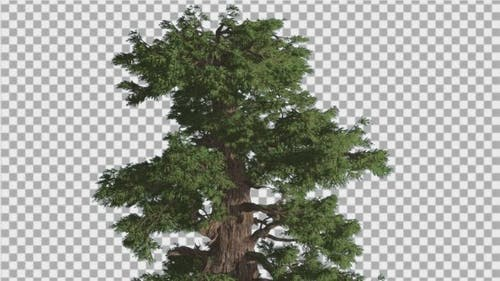 Western Juniper Swaying Top of Tree Coniferous