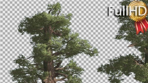 Thumbnail for Western Juniper Two Thick Trees Coniferous