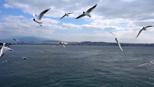 Thumbnail for Seagulls Flying 3