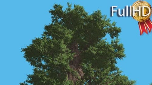 Western Juniper Top of Coniferous Evergreen Tree