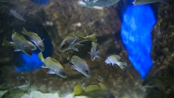 Sea Fishes (Sciaena Umbra) Floats In Special Tank With Lighting And Oxygen Generator