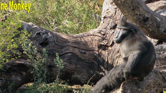 Thumbnail for Alone Monkey