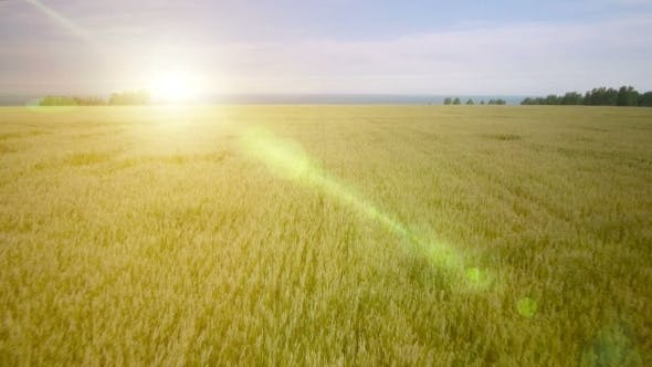 Cover Image for AERIAL: Low Flight Over Green And Yellow Wheat Field