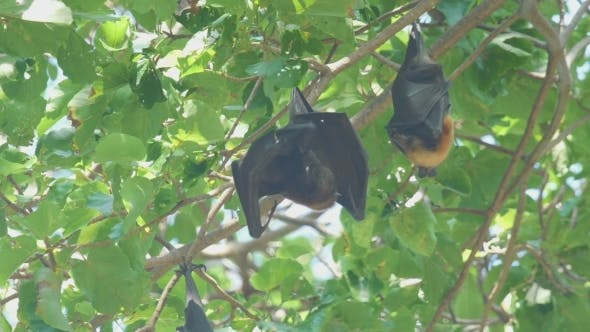 Thumbnail for Flying Fox Hangs On a Tree Branch And Washes